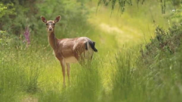 Deer in the Forest of Dean