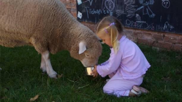 Sheep Feeding; Devon