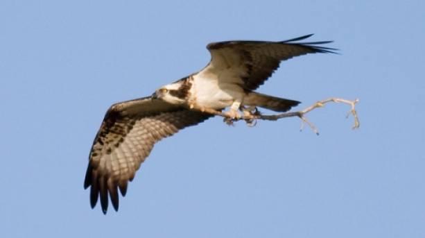 Male Osprey over Rutland Water