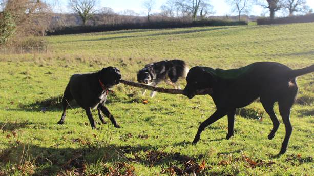 Dogs at play at higher Wiscombe