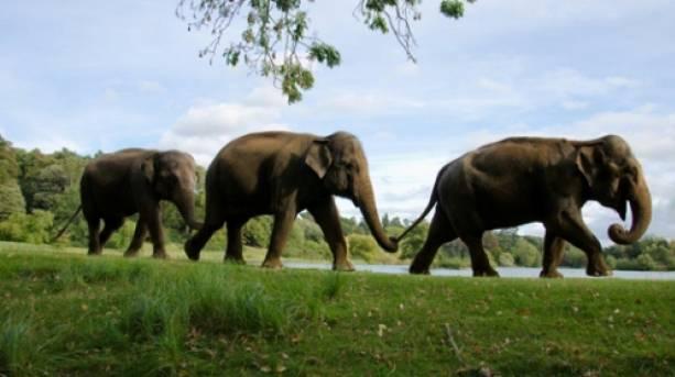 Elephants at Woburn Safari Park