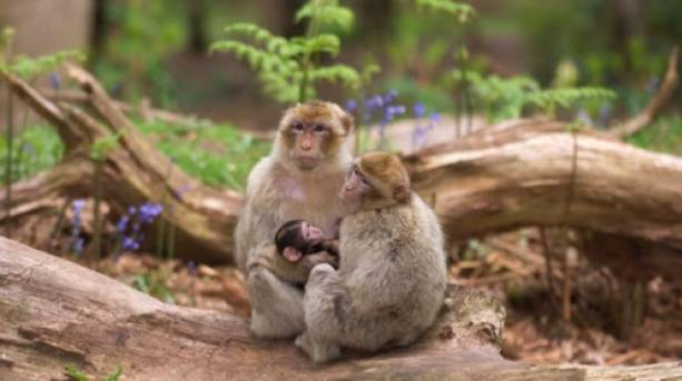 Barbary macaques roaming free at Trentham Monkey Forest