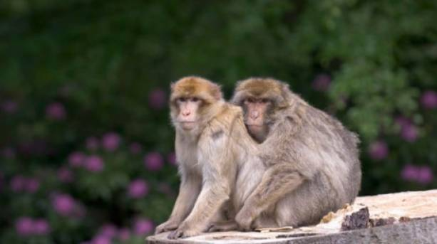 Come and see the Barbary macaques roaming free at Trentham Monkey Forest