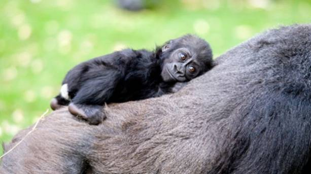 A baby monkey lying on its mother's back
