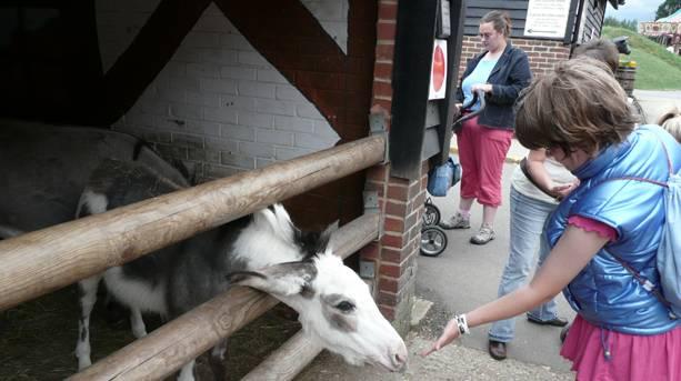 A little girl feeding a goat