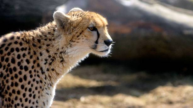 Cheetahs at Wild Place Project