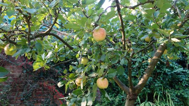 Apple crop in East Hampshire