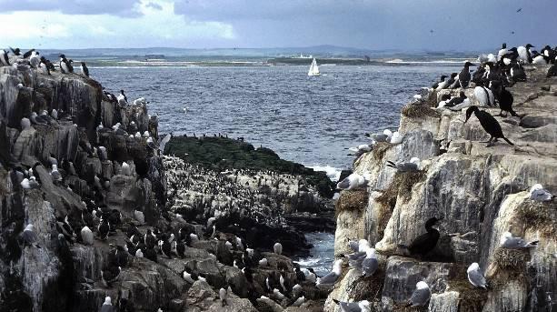 Farne Island seabirds