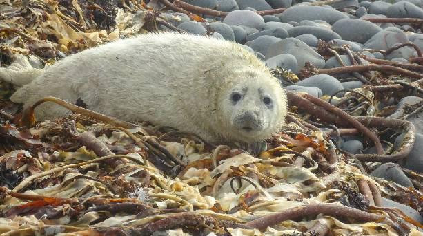 Farne Island Seal Pup