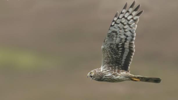 Hen Harrier, Forest of Bowland, Lancashire