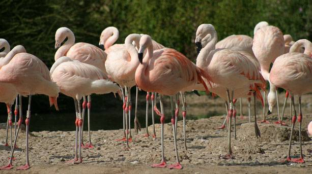 Flock of Chilean Flamingos at Washington Wetland Centre