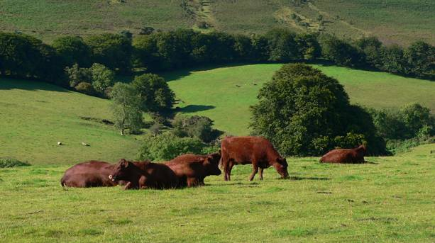 Red Ruby Cattle