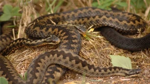 Snakes at Avon Heath Country Park