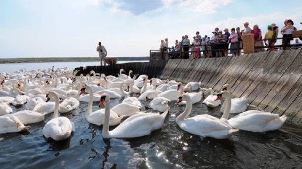 A mass feeding of swans at Abbotsbury Swannery
