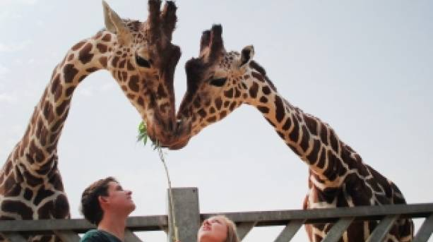 Giraffes at Colchester Zoo