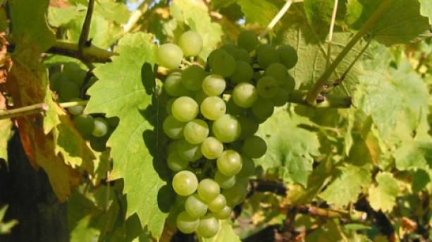 Grapes in a vineyard in summer