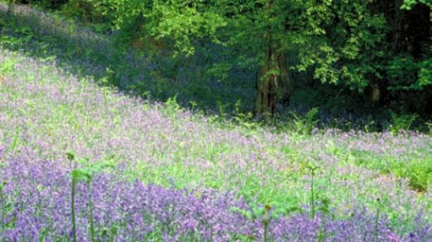 A scenic view of Bluebell woods at Leith hill, the highest point on the Greensand Ridge in Surrey
