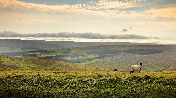 Sheep on the Durham Dales