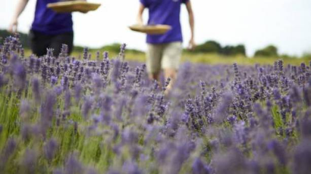 Wolds Way Lavender and Herb Farm
