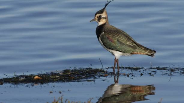 Lapwing at Gibraltar Point in Lincolnshire
