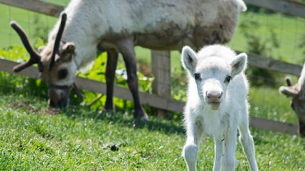 A little reindeer is born at Lee Valley Park