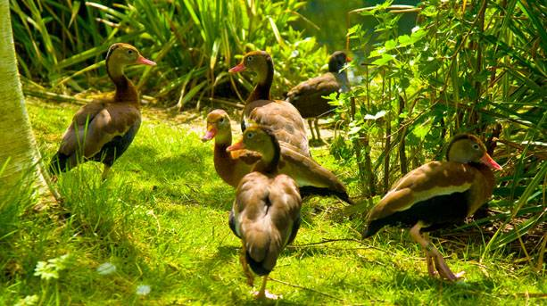 A flock of ducks in the undergrowth at the Barnes wetlands Centre