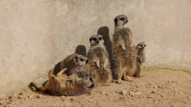 Meerkat Family at the Tropical Butterfly House & Wildlife Centre