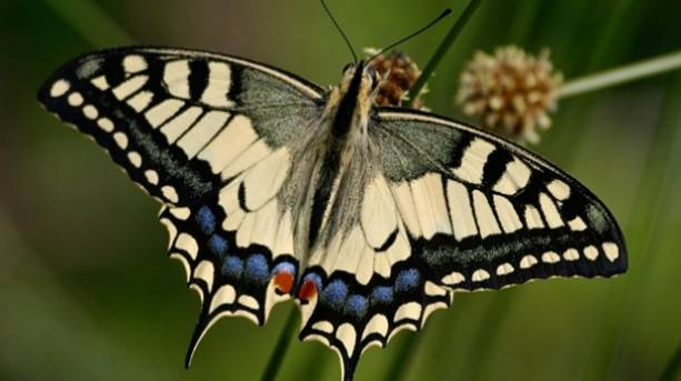 A Swallowtail, Britain's biggest butterfly