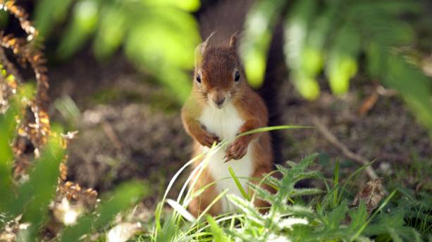 Squirrel on Brownsea Island