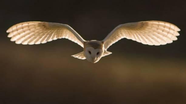 An owl flying