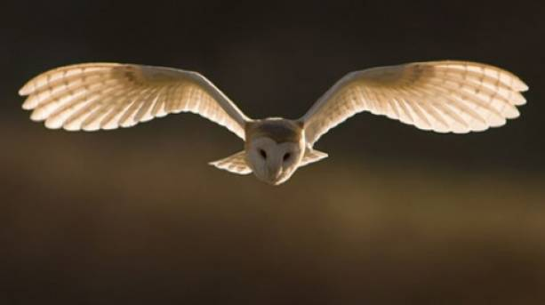 An owl flying
