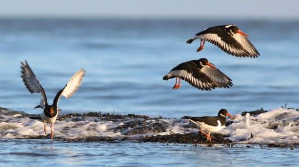 Oystercatchers in Robin Hood's Bay