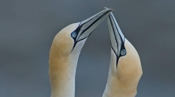 Gannets touching beaks
