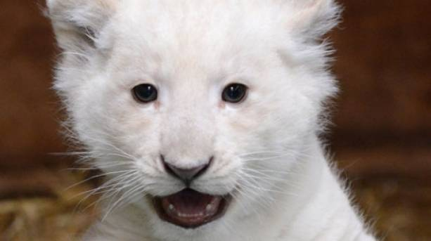 White lion cub at Paradise Wildlife Park