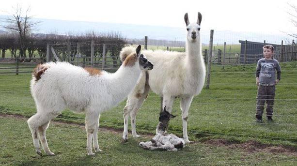 Alpaca's at Playdale Farm Park