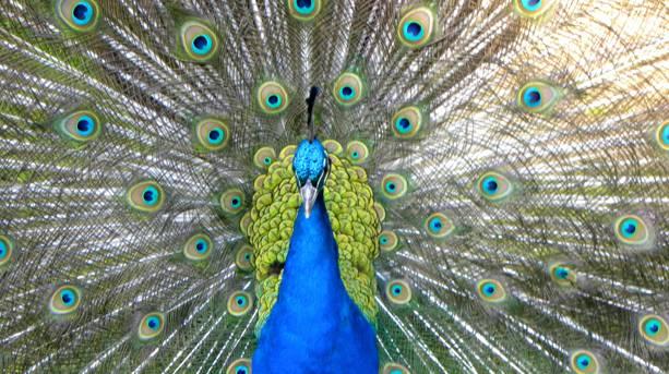 Peacock on Brownsea Island