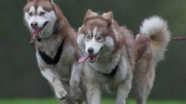 Huskies running