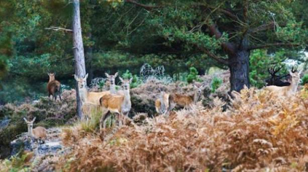 A group of hinds gathers in the heath at Minsmere, with a stag just visible among the trees