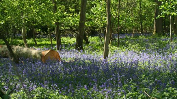 Bluebells at Abbey Home Farm
