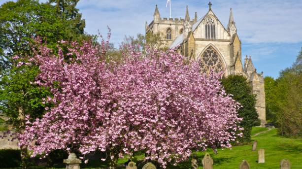 Ripon Cathedral churchyard blossom