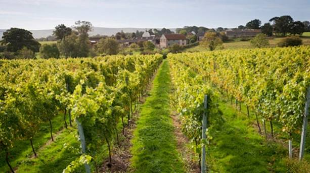 Photo of the Court Garden vineyard at Ditchling