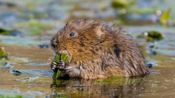A water vole at Sunset at RSPB Rainham Marshes
