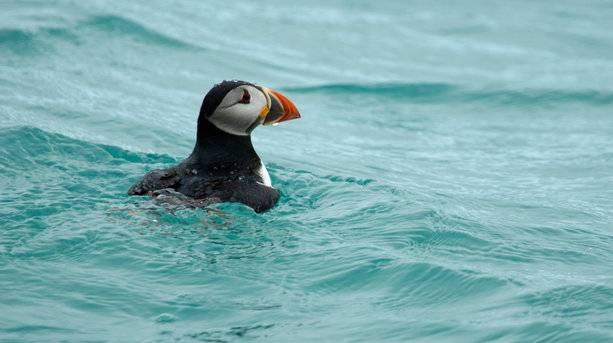 A Scilly Puffin