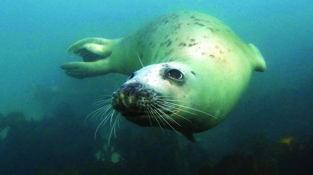 A Scilly Seal