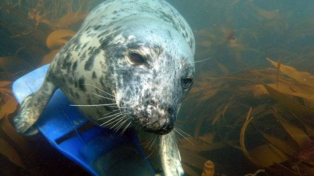 A Scilly Seal on a Diving Flipper