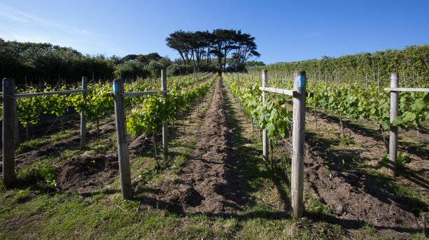 Vineyards of Scilly