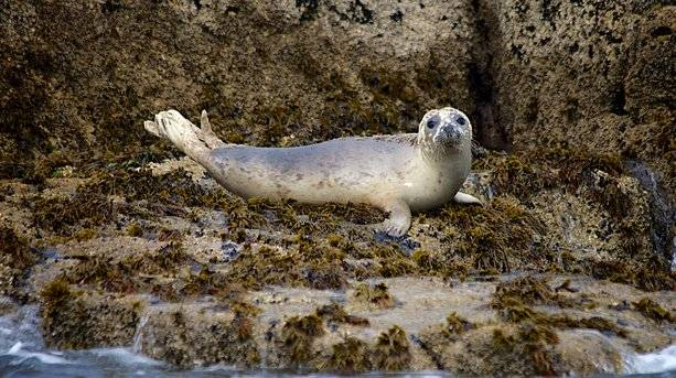 Black Rock Seal on St Martin's