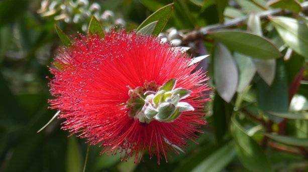Bottle Brush Flower, Tresco