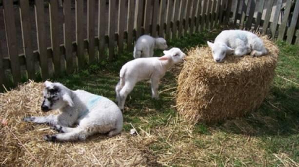 Newborn lambs at Kent Life