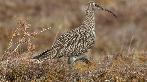 A curlew at Northumberland National Park